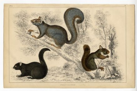 1851 Antique Print SQUIRREL Grey American Black CHICKAREE Oliver Goldsmith